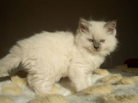 cat breeders ragdoll cat breeders world of cat