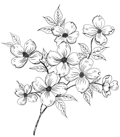 coloring pages of dogwood flowers dogwood pencil coloring pages