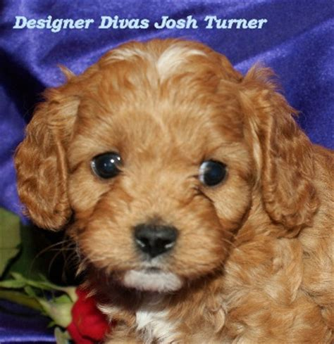 cavapoo puppies nc cavapoo breeders nc image search results