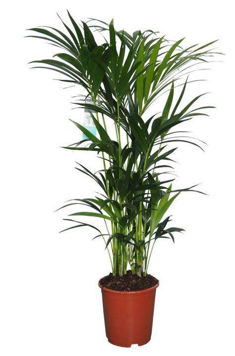 kentia palm strong graceful  popular florastore