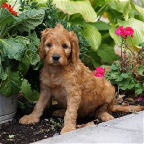 doodle puppies for sale doodle puppies for sale in pa breeds picture