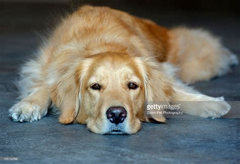 recherche golden retrievers golden retriever lying photo getty images