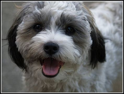 shih pooh haircut 22 best toby haircut ideas images on pinterest shih