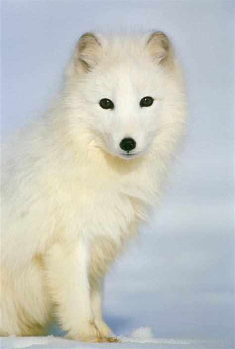 arctic fox wikipedia the free encyclopedia arctic fox thinglink