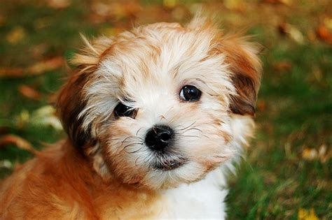 havanese rescue puppies havanese breeders breeds picture