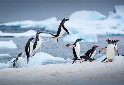 Penguin S penguins are facing extinction thanks to climate change