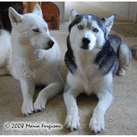 husky puppies for sale in california siberian husky puppies siberian husky breeder in escondido california listing id