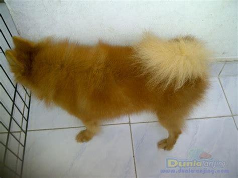 Mini 2 Turun dunia anjing jual anjing pomeranian indukan mini pom