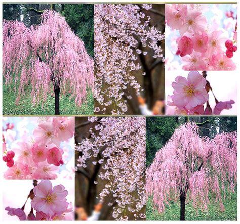 bulk japanese weeping cherry tree seeds prunus subhirtella pendula fresh bonsai ebay