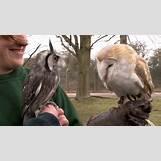 White Owl Baby   1280 x 720 jpeg 96kB