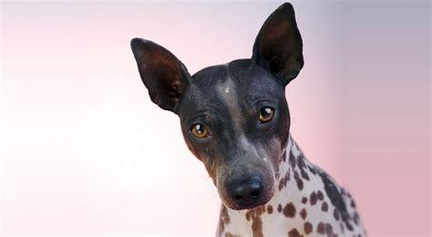 american hairless terrier puppies american hairless terrier breed information american kennel club