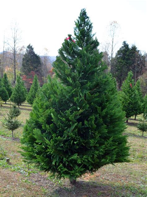best christmas tree species best living tree types hgtv