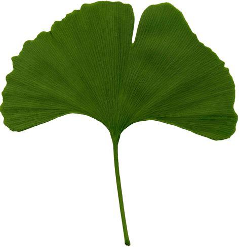 file ginkgo biloba scanned leaf jpg