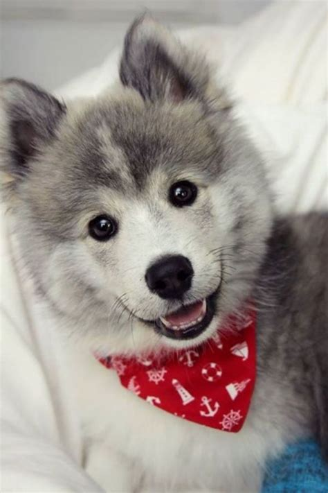 where to find a pomeranian husky the pomeranian husky information pictures breeders