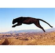 Image Gallery Leaping Panther