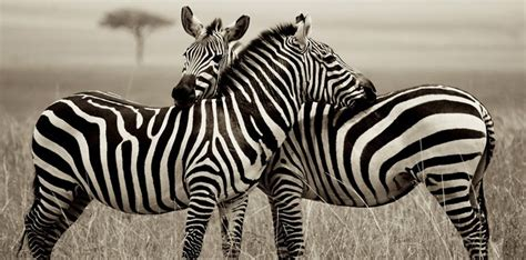 printable zebra facts 25 amazing facts about zebras the fact site