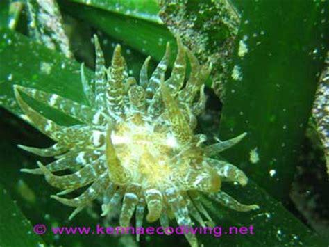 anemone electra mediterranean seagrass ecosystem kust wiki