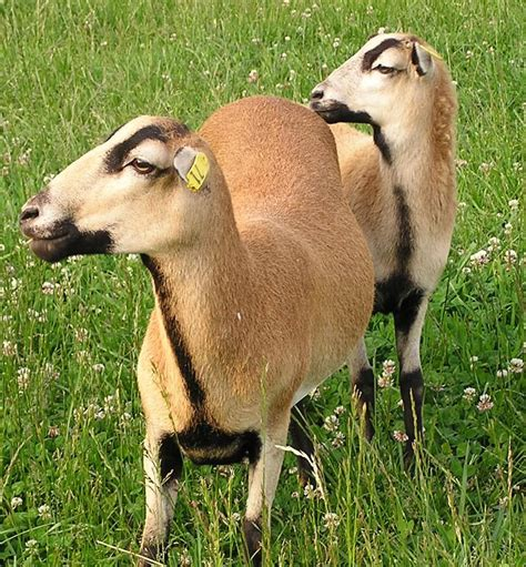 Types Of Hair Sheep by The Barbados Blackbelly Is A Hair Sheep Breed That Evolved