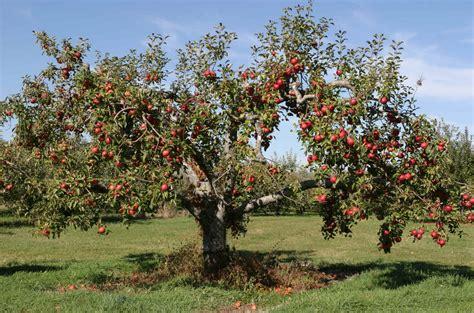 apple tree apple tree marks where a turn of the century family
