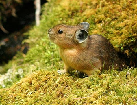 northern pika life expectancy
