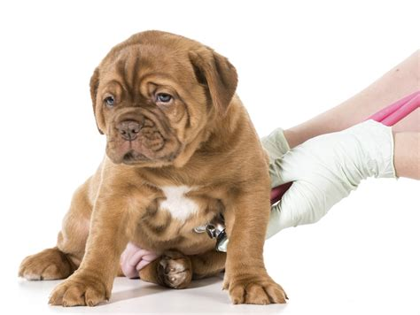 New Puppy Blood In Stool by Vaccination Schedule Jeffers Blogs