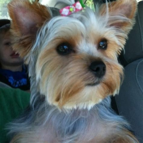 4 month yorkie puppy 3 month yorkie breeds picture