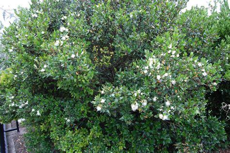 myrtle plant myrtus communis landscape architect s pages