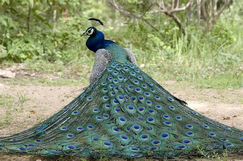 colorful  beautiful pictures  peacock incredible snaps