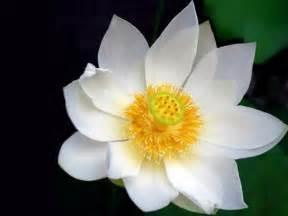 Lotus Wings Nelumbo Wings Lotus