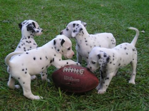 dalmatian puppies for sale in sc dalmations sniffing a football puppies the so