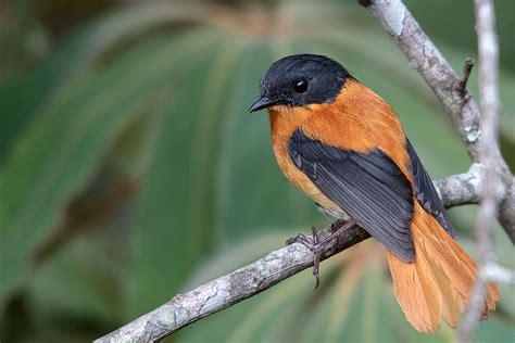 black and black and orange flycatcher