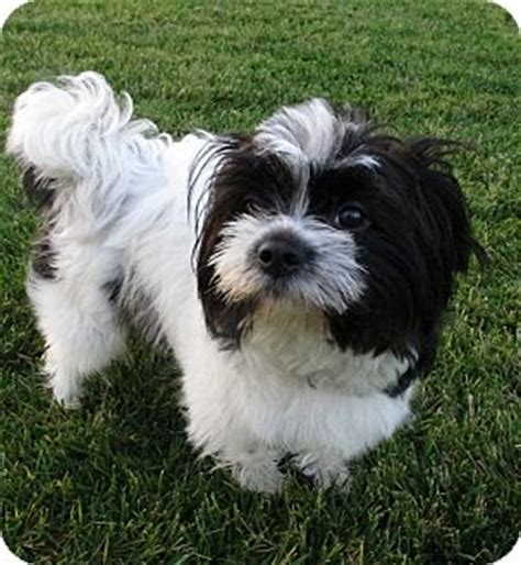havanese and shih tzu shih tzu havanese mix breeds picture