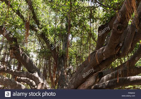 lighting of the banyan tree lahaina banyan tree maui lahaina stock photos banyan tree maui