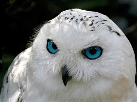 snowy owl beautiful animals pinterest