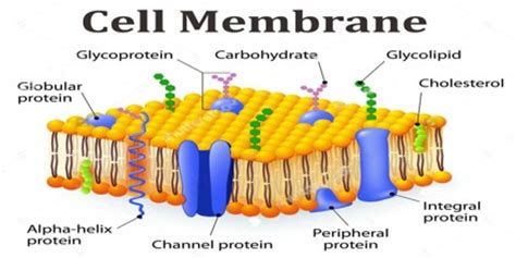 function  structure  cell membrane assignment point