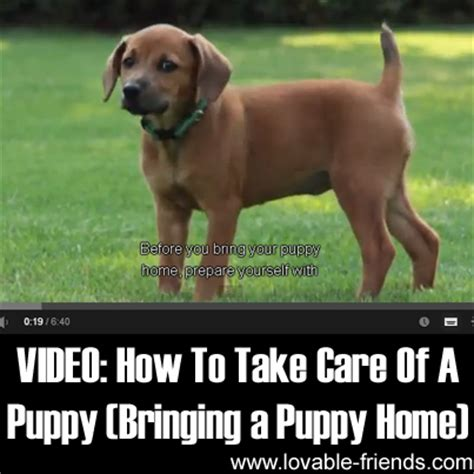 how to take care of puppies how to take care of a puppy bringing a puppy home lovable friends