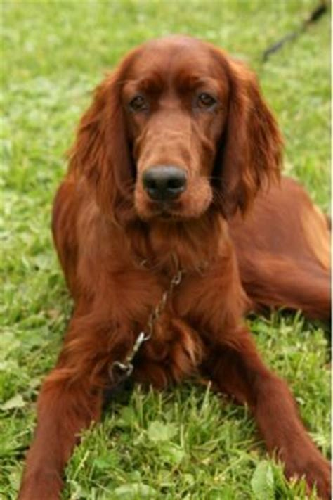 red setter dog rehoming 126 best images about irish setter on pinterest irish