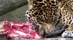 Do Jaguars Eat Jaguar