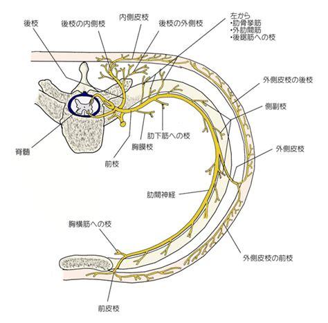 Thoracic Nerve Diagram