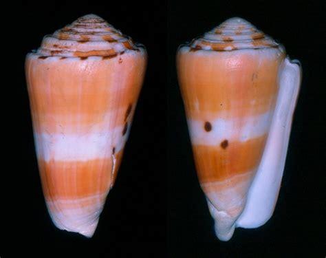 Kerang Laut 100 Best Kerang Laut Images On Conch Shells