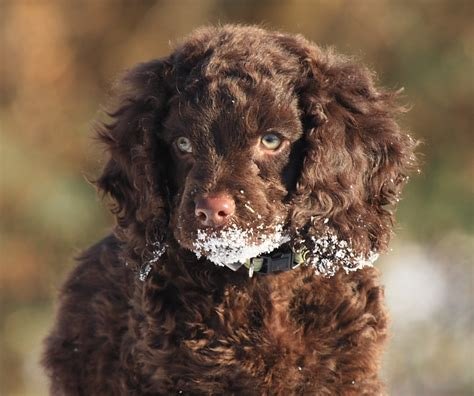 water spaniel puppies american water spaniel puppies doglers
