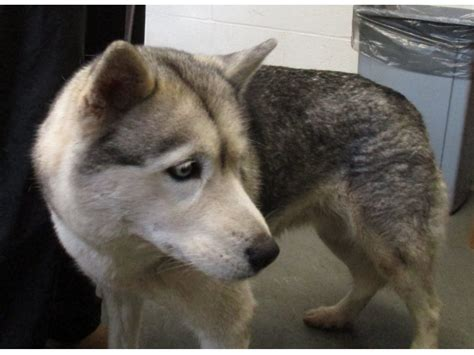 Ct Detox Husky D by Husky Found Wandering In Middletown Patch