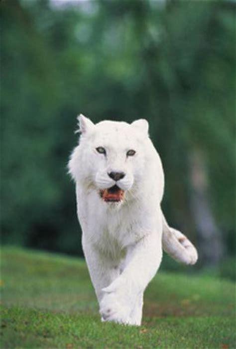 Imagenes Panteras Blancas | im 225 genes del mundo animal pantera blanca