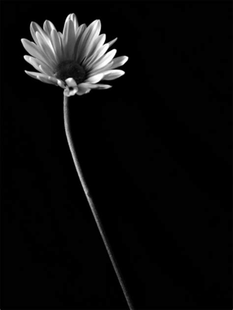 black and white daisy wallpaper black and white daisy wallpaper iphone blackberry