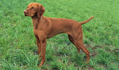 viszla puppies vizsla breed information