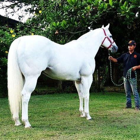 caballos sementales cuarto milla las 25 mejores ideas sobre cuarto de milla en