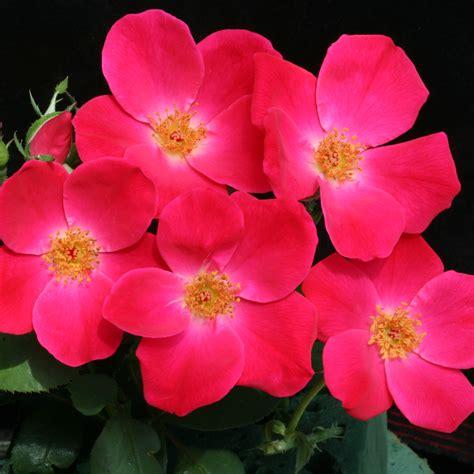 summer flowers summer flower pink summer flowers