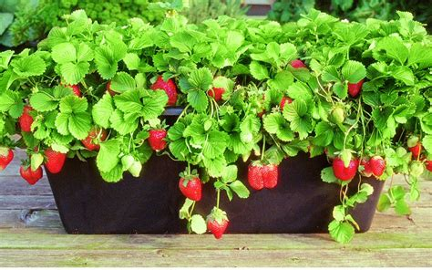 how to grow strawberries how to grow foods