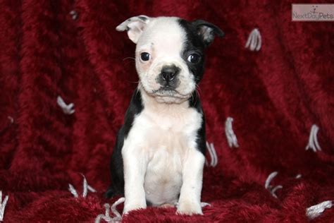 boston terrier puppies near me boston terrier puppy for sale near lancaster pennsylvania c31b34ec 78d1