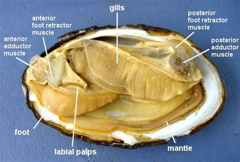 Why Are Clams Referred To As Filter Feeders clam dissection jkl bahweting middle school